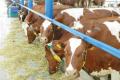 У ДГ імені Декабристів за безприв'язного утримання зросла продуктивність корів