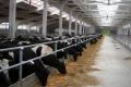 Рівненська «Ідна» має намір будувати корівники для безприв'язного утримання