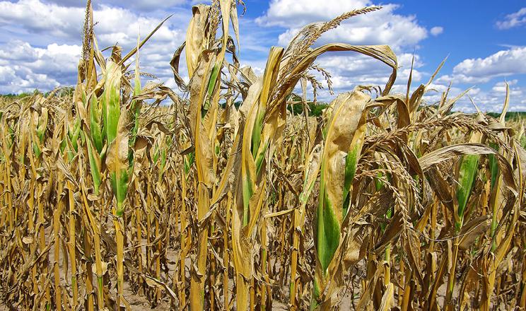 Засуха суттєво зменшила врожайність сільгоспкультур в Україні