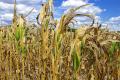 У підрозділі «Північна Полтавщина» «Баришівської зернової компанії» не отримали запланованого врожаю кукурудзи