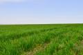 Як у «КСГ Дніпро» мінімізували втрати врожаю від хвороб