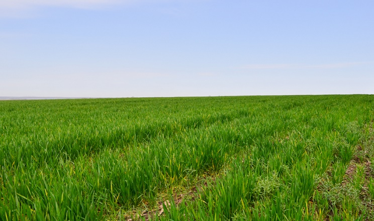 Бур'яни-ефемери розповсюджуються на зріджених посівах більше, ніж на щільних