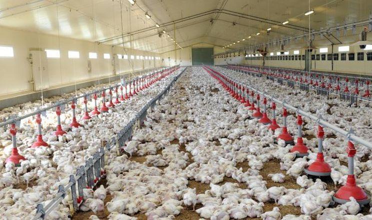 У Румунії підтвердили грип птиці у птахогосподарстві