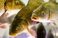 Хмельницьке підприємство отримало право експортувати живу рибу до Молдови