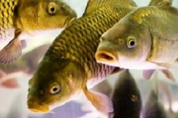 Спалах захворювань риби навесні загрожує збитками рибницьким підприємствам