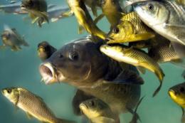 За 8 місяців на зовнішні ринки відправили на 39% більше живої риби