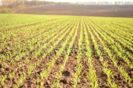 За браку вологи вдруге підживлювати пшеницю краще позакоренево
