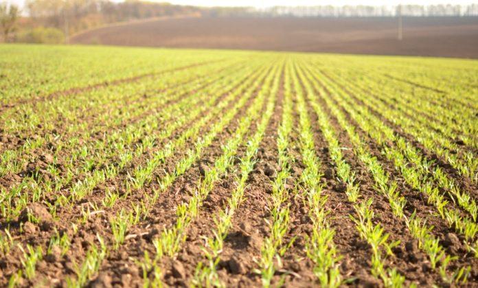 Велика кількість рослинних решток знижує ефективність ґрунтових гербіцидів