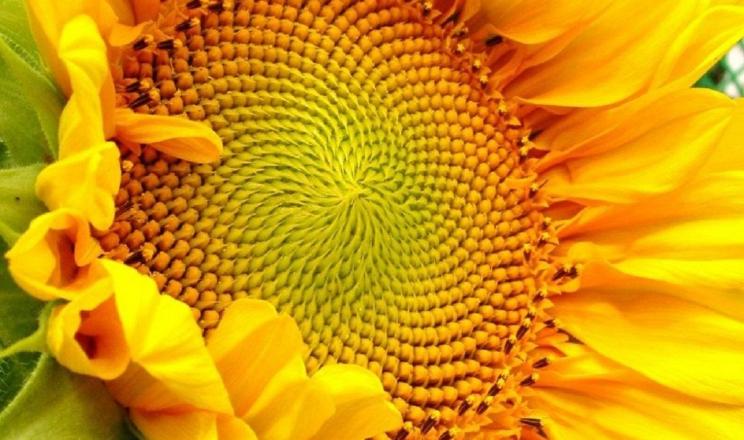 Своєчасне видалення з поля рослинних решток соняшнику дозволяє захиститись від шипоноски