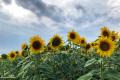 Скільки коштує вирощування соняшнику