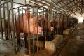У січні-лютому Україна експортувала 83 тонни живих свиней