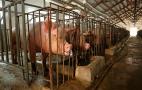 Середні свиногосподарства переважно ведуть бізнес із мінімальними вкладеннями у біозахист