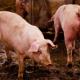В Японії класична чума свиней повернулася до свійських свиней