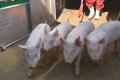«Нива Переяславщини» оновлює ремонтне поголів'я свиней