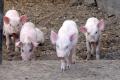 У Краматорську стався спалах АЧС серед свійських свиней