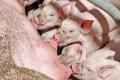 Дешевим кормом не досягнути від данських свиноматок потрібного результату