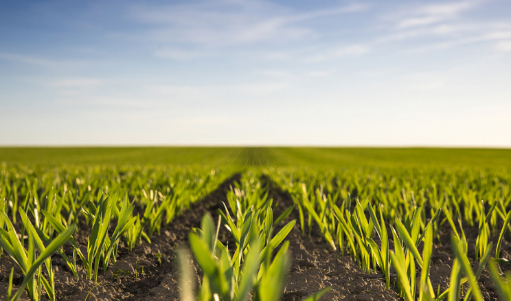 Як захистити озиму пшеницю від шкідників і хвороб