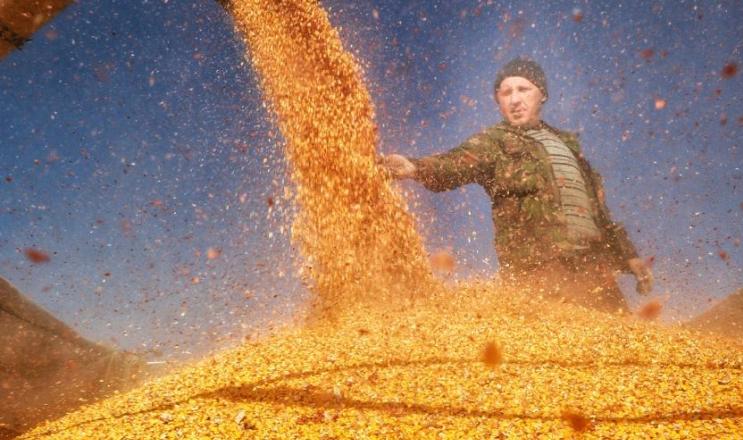 AgroGeneration збирає кукурудзу з оптимальною вологістю і врожайністю 80 ц/га