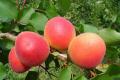 Сучасна селекція плодових використовує генетичні маркери цінних ознак
