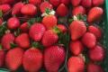 Для півдня Європи представлять новий смачний сорт полуниці
