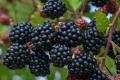 Густа сітка зменшила кількість шкідників та збільшила товарність органічної ожини