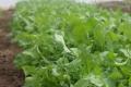 Товарні посіви руколи захищають агроволокном і біопрепаратами