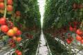 Учені довели, що томати спілкуються між собою