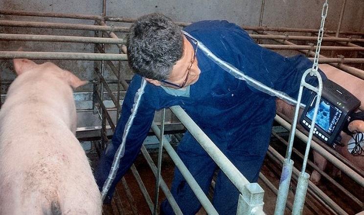 Свиноматки спокійно реагують на УЗД-прилад