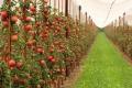 Садівники збільшать внесення добрив під яблука, – експерт