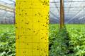 Південноамериканську томатну міль виявляють за допомогою феромонних та жовтих клейових пасток