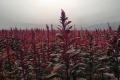 Амарант краще вирощувати після зернових і просапних культур