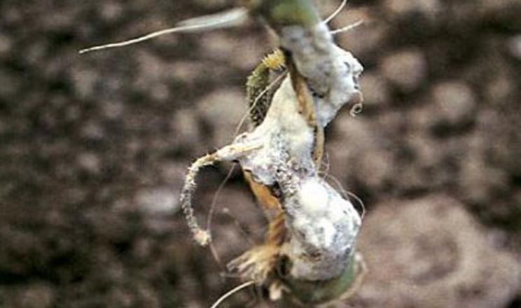 Біла гниль може уразити посіви сої на будь-якій стадії розвитку