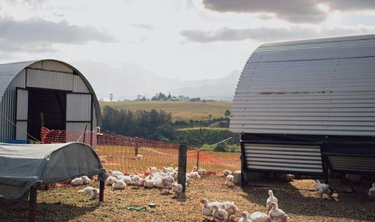 У Німеччині збільшується частка курятини, виробленої за альтернативного вирощування