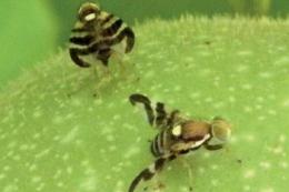 Нехімічний захист від горіхової мухи бажано застосовувати в усіх садах волоського горіху місцевості