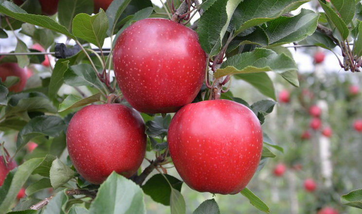 На Близькому Сході може не вистачити яблука великих калібрів