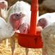 Основні критерії, за якими слід обирати сировину для комбікорму для птиці
