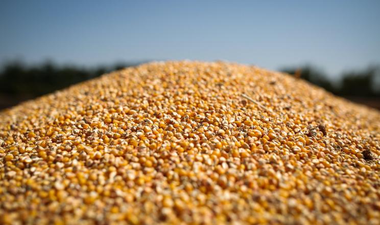 «Агросвіт» Баришівської зернової компанії прийняв на зберігання 25 тис. тонн кукурудзи