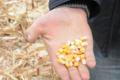 Середня врожайність кукурудзи у Grain Alliance вища, ніж минулого року