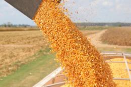 Китай цього тижня закупив партію української кукурудзи