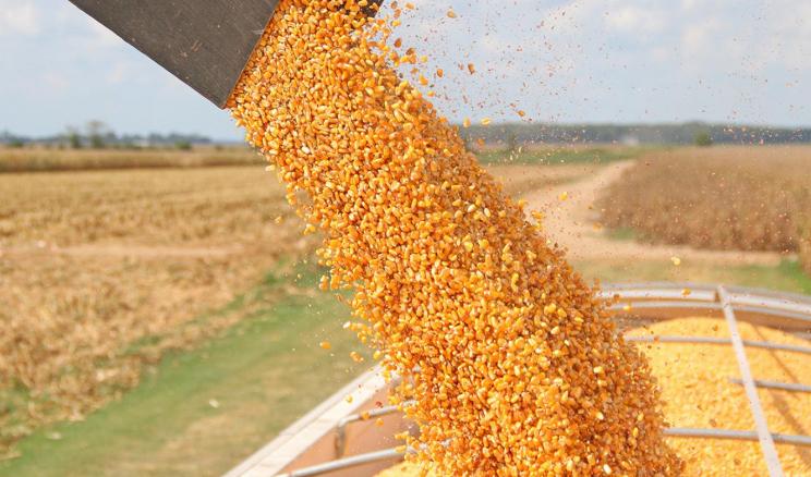 Урожайність кукурудзи «Епіцентр Агро» на Вінниччині становить 10,2-10,5 тонн/га