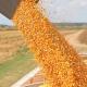 Знижено прогноз експорту українського зерна: підвела кукурудза