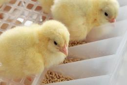 Підвищений рівень вітаміну Е в раціоні курчат-бройлерів подовжує термін зберігання  їхнього замороженого м'яса