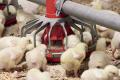 Полтавське птахогосподарство наростить поголів'я бройлерів до 100 тис.