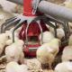 Потенційний дефіцит синтетичного треоніну призведе до стратегічних змін складу раціонів птиці