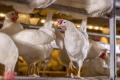 Поголів'я птиці за чотири місяці скоротилося на 1,2%