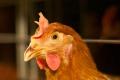У раціоні несучки протягом яйцекладки необхідно регулювати співвідношення кальцію і фосфору