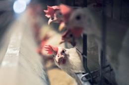 Промислове поголів'я птиці за дев'ять місяців скоротилося на 6,7%