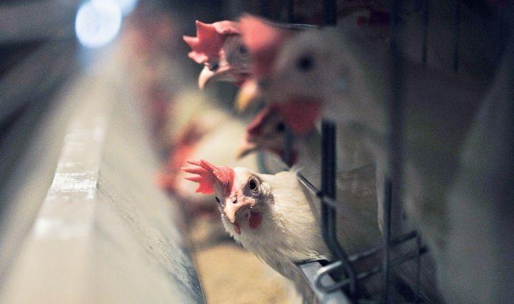 «Птахоферми Возняк» не застосовують препарати з ефірними оліями