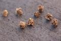Пил погіршує якість протруєння насіння буряків
