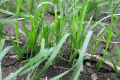 Аміачна селітра краще впливає на врожайність пшениці, ніж сечовина